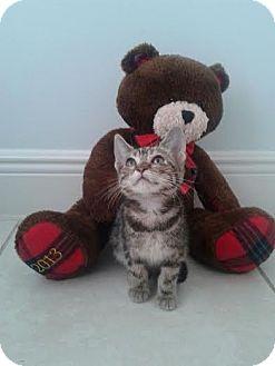 Domestic Shorthair Kitten for adoption in Fort Pierce, Florida - Bebe