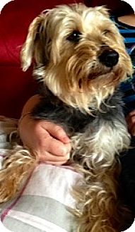 Wheaten Terrier/Yorkie, Yorkshire Terrier Mix Dog for adoption in Oswego, Illinois - Murphy