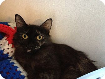 Calico Kitten for adoption in Los Angeles, California - Holly