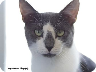 Domestic Shorthair Cat for adoption in Huntsville, Alabama - Socks