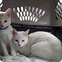 Adopt A Pet :: Ice T - McDonough, GA