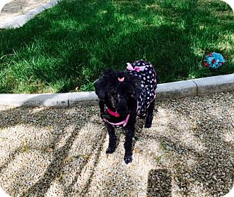 Poodle (Miniature) Mix Dog for adoption in Las Vegas, Nevada - Mimi 2