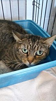 Domestic Shorthair Cat for adoption in Sistersville, West Virginia - Fiona