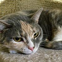 Domestic Shorthair Cat for adoption in Wilmington, Delaware - Georgia
