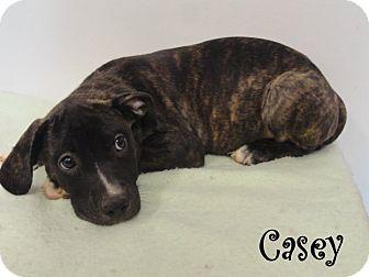 Hound (Unknown Type)/Labrador Retriever Mix Puppy for adoption in Ozark, Alabama - Casey