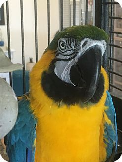 Macaw for adoption in Punta Gorda, Florida - George