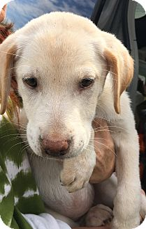 Labrador Retriever/Affenpinscher Mix Puppy for adoption in Beeville, Texas - Sandy