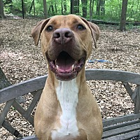 Great Dane/Terrier (Unknown Type, Medium) Mix Dog for adoption in Walden, New York - Ecko