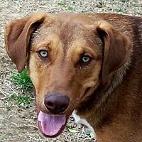 Shepherd (Unknown Type)/Labrador Retriever Mix Dog for adoption in Conway, Arkansas - Bojangles
