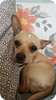 Chihuahua Mix Dog for adoption in Syracuse, New York - MonChiChi