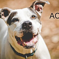 American Pit Bull Terrier Mix Dog for adoption in South Park, Pennsylvania - Ace