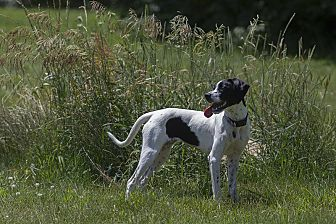 English Pointer/Brittany Mix Puppy for adoption in Wood Dale, Illinois - Teenie