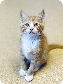 Domestic Shorthair Kitten for adoption in Brookings, South Dakota - Screech