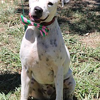 Boxer/Dalmatian Mix Dog for adoption in Bedminster, New Jersey - Dexter
