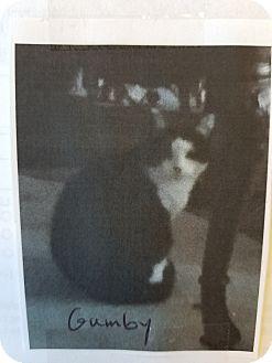 Domestic Shorthair Cat for adoption in Santa Ana, California - Gumbie