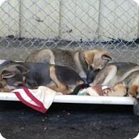 Adopt A Pet :: CURLY - Gustine, CA