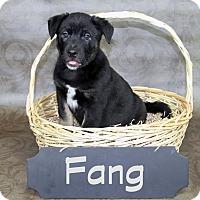 Adopt A Pet :: Fang - Joliet, IL