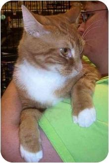 Domestic Mediumhair Cat for adoption in Overland Park, Kansas - Tigger