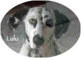 Dalmatian Dog for adoption in Mandeville Canyon, California - Lulu 2