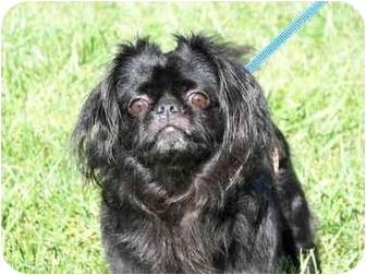 Pekingese Dog for adoption in North Wilkesboro, North Carolina - Olivia