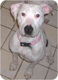 Pit Bull Terrier Mix Dog for adoption in Chicago, Illinois - Abbe