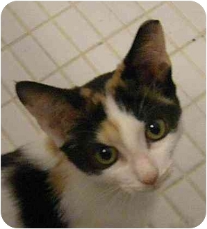 Calico Kitten for adoption in Miami Beach, Florida - Symphony