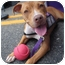 Photo 2 - American Pit Bull Terrier Mix Puppy for adoption in Medford, New Jersey - Sandy