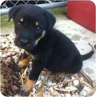 Labrador Retriever/Rottweiler Mix Puppy for adoption in Homestead, Florida - Grove pup-Marvin