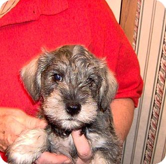 Schnauzer (Miniature) Puppy for adoption in Weatherford, Texas - Tiny Mr. Salty