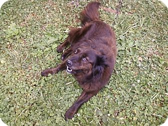 Border Collie/Australian Shepherd Mix Dog for adoption in Carey, Ohio - Princess