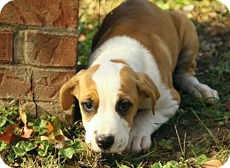 American Bulldog/Boxer Mix Puppy for adoption in Spring Valley, New York - Bess