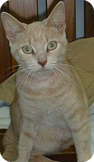 Domestic Shorthair Cat for adoption in Hamburg, New York - Ginger Kitty
