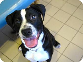 American Pit Bull Terrier Mix Dog for adoption in Jackson, Michigan - Lucy