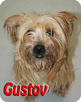 Silky Terrier Mix Dog for adoption in Midland, Texas - Gustov
