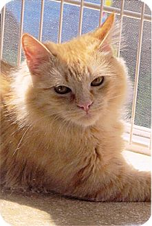 Maine Coon Kitten for adoption in Davis, California - Tommy Tripod