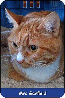 Domestic Shorthair Kitten for adoption in Merrifield, Virginia - Mrs. Garfield