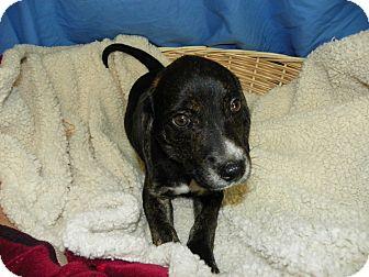 Beagle Mix Puppy for adoption in Waldorf, Maryland - Stella