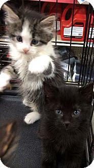 Maine Coon Kitten for adoption in Harrisburg, North Carolina - Otis