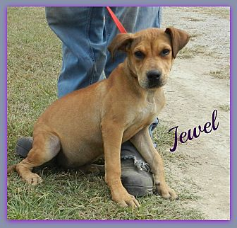 American Bulldog Mix Dog for adoption in Lawrenceburg, Tennessee - Jewel
