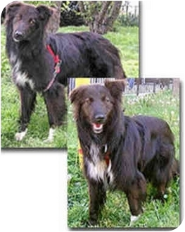 Border Collie Mix Dog for adoption in Stephentown, New York - Shayna