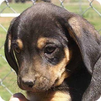Miniature Pinscher Mix Puppy for adoption in Allentown, Pennsylvania - Jill