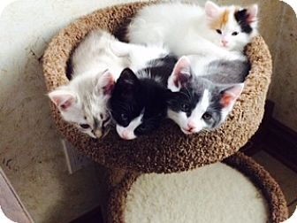 Domestic Shorthair Kitten for adoption in Byron Center, Michigan - Winston