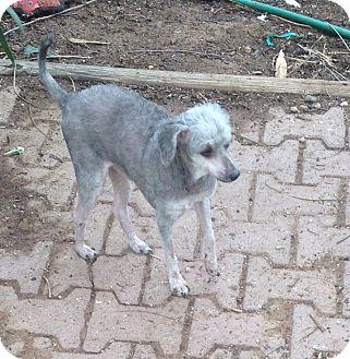 Poodle (Miniature) Mix Dog for adoption in Tucson, Arizona - Scampi