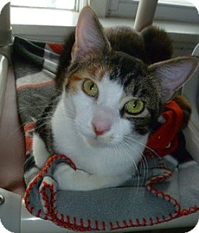 Domestic Shorthair Cat for adoption in Hamburg, New York - Holly
