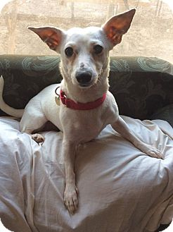 Jack Russell Terrier/Chihuahua Mix Dog for adoption in Mesa, Arizona - Bambi