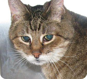 Domestic Shorthair Cat for adoption in Wichita, Kansas - Shiloh