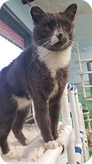 Domestic Shorthair Cat for adoption in Cody, Wyoming - Herman