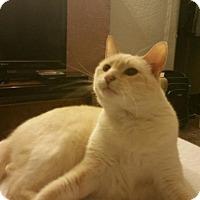 Adopt A Pet :: DECLAWED BISCUIT - Brea, CA