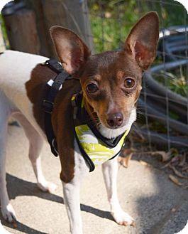 Rat Terrier Dog for adoption in Prosser, Washington - Abby - pending