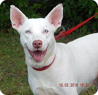 Husky/Kishu Mix Dog for adoption in Burlington, Vermont - Diamond (53 lb) BLUE Eyes!